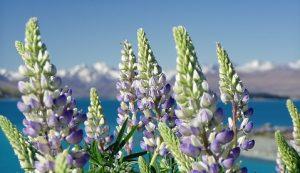 Lavendel spring Pixabay.com gratis foto's